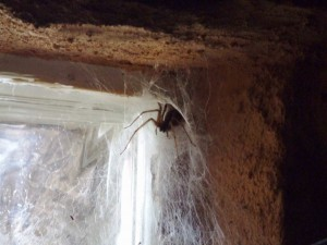 Spider in the windowsill