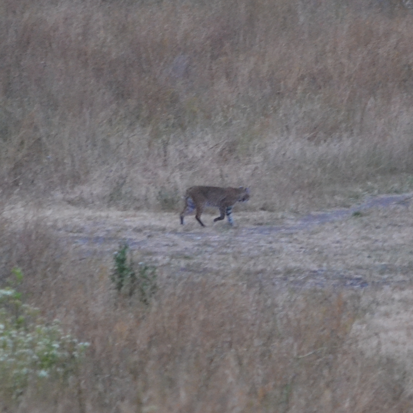 bobcat at wildcat